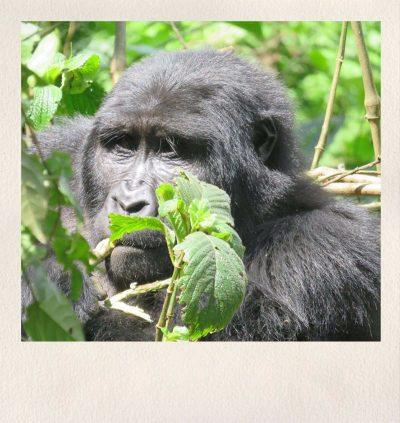 Uganda Safari - Gorilla - Asdia Ecoventures