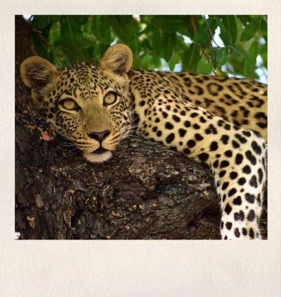 Zambia Safari - Leopard - Asdia Ecoventures